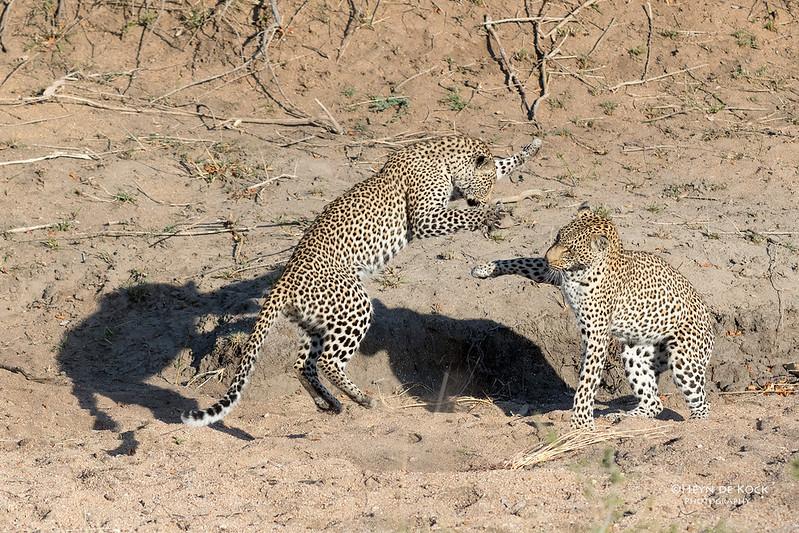 Leopard (Salayexe & Tiyane), Sabi Sands (EP), SA, Oct 2016-2.jpg