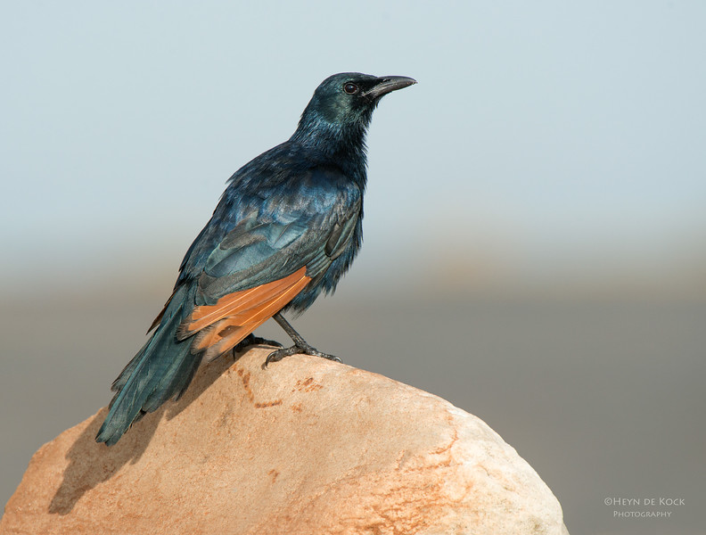 Red-winged Starling, Table Mountain NP, WC, SA, Jan 2014-1 copy.jpg