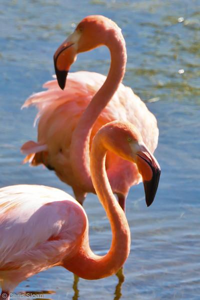 American Flamingo at Punta Moreno, Isabela, Galapagos, Ecuador (11-23-2011) - 785.jpg