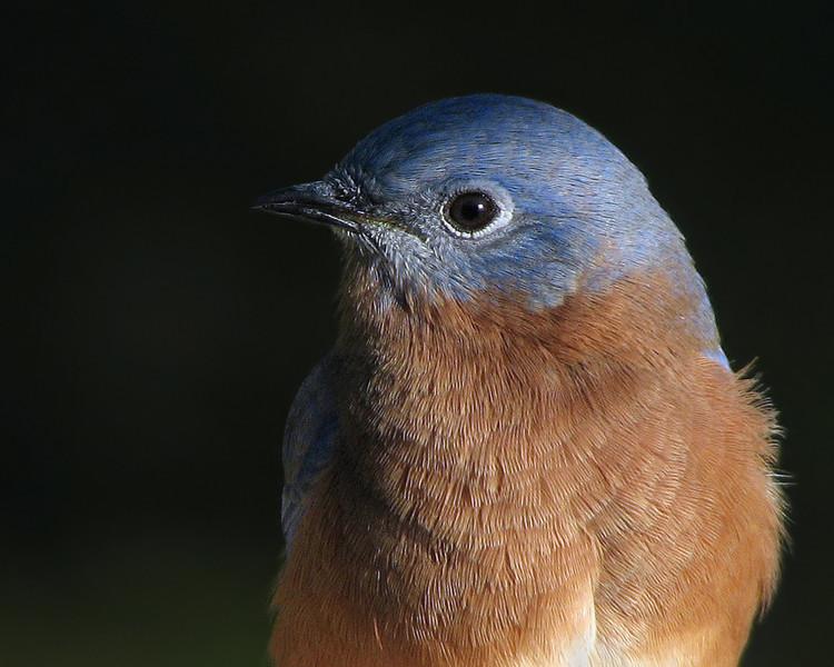 bluebird_3791.jpg