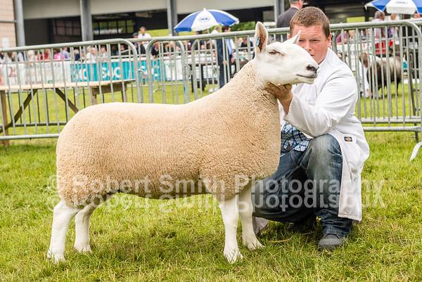North Country Cheviot Sheep Judging @Royal Welsh Show 2015