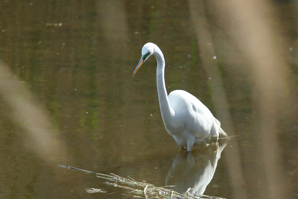 2008 - Stalking the Egret