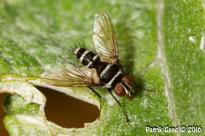 Australian Leafroller Tachinid