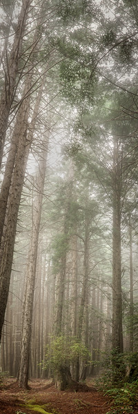 Misty Redwoods, Sea Ranch, California