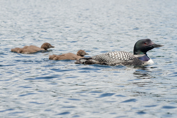 Loons-Lots of them in NH and VT