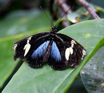 Dot-bordered Heliconian, Blue - Heliconius doris
