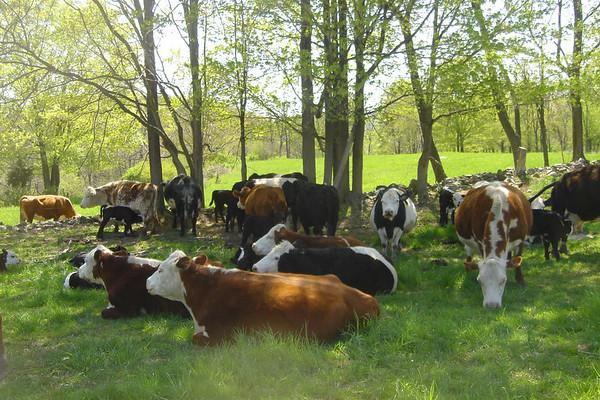 Cows on Lowland Farm