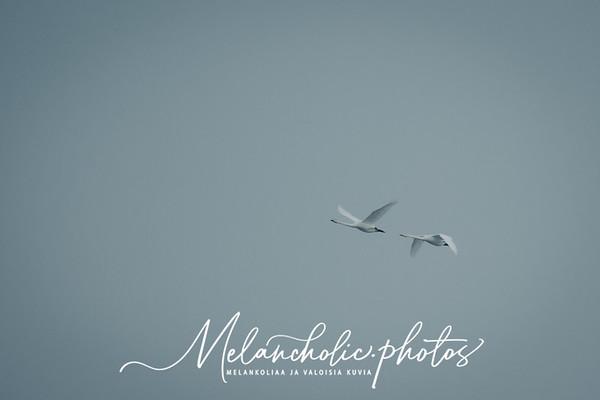 Kaksi laulujoutsenta lentää ohi
