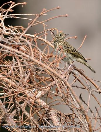 Boompieper; Anthus trivialis; Baumpieper; Tree Pipit; Pipit des arbres