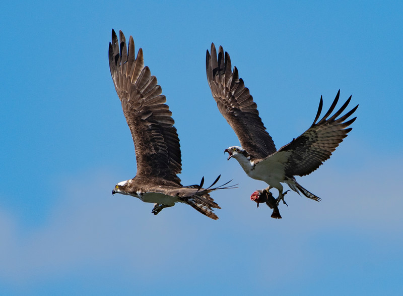 Osprey Attack