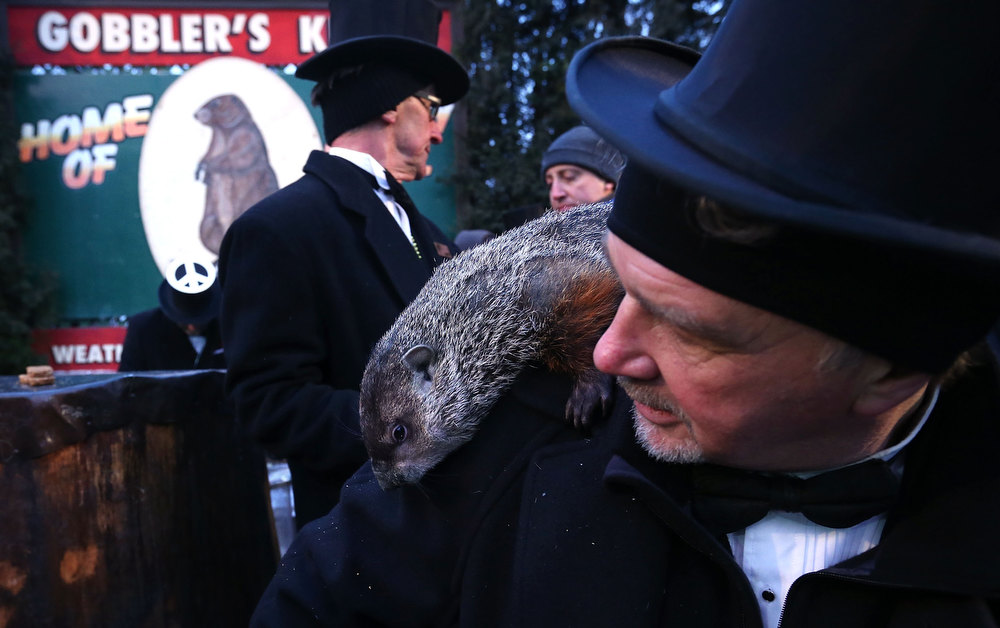 Description of . Punxsutawney Phil climbs on the shoulder of groundhog co-handler John Griffiths (R) after Phil did not see his shadow and predicting an early spring during the 127th Groundhog Day Celebration at Gobbler's Knob on February 2, 2013 in Punxsutawney, Pennsylvania. The Punxsutawney 'Inner Circle' claimed that there were about 35,000 people gathered at the event to watch Phil's annual forecast.  (Photo by Alex Wong/Getty Images)