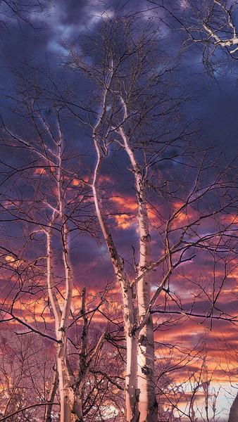 Bare Birch at Sunset.jpeg