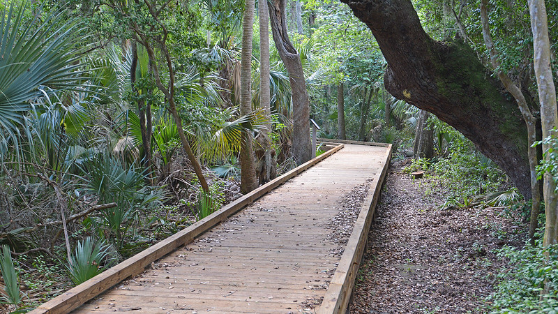 Boardwalk under large oak
