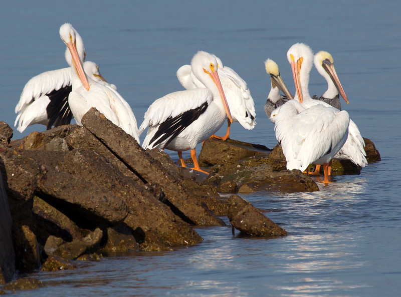 The underside of a White Pelican's wings are black.