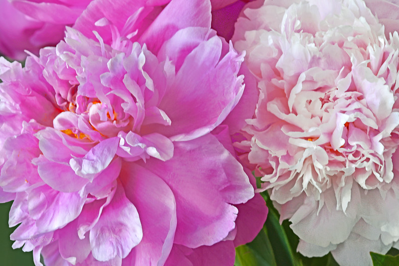 Peonies-Shades of Pink