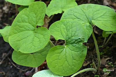 Aristolochiaceae (Birthwort) family