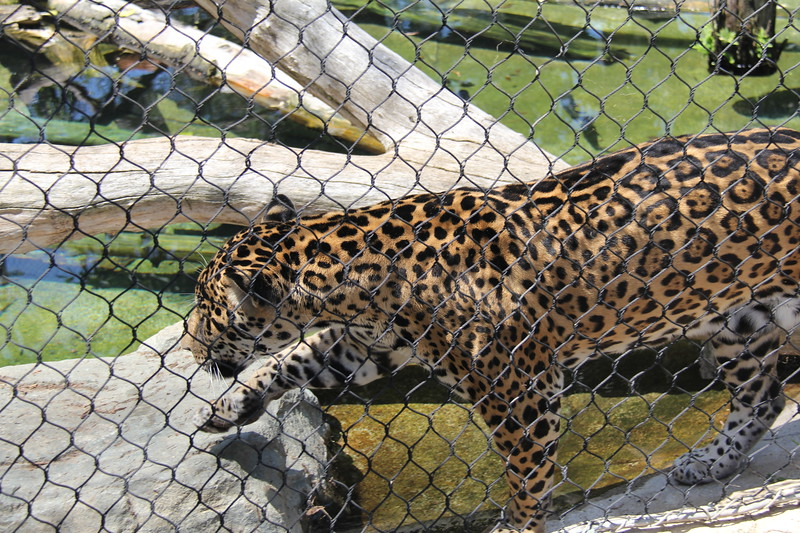 20170807-096 - San Diego Zoo - Leopard.JPG