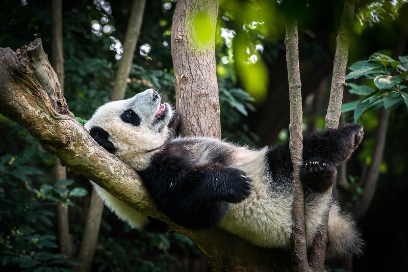 Chengdu - Panda Sanctuary-5794.jpg