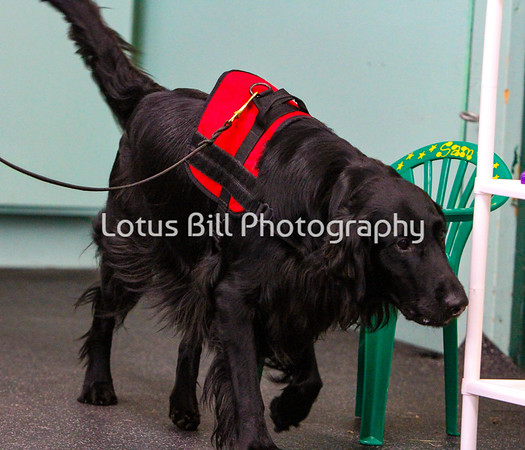 Flat-Coated Retriever Num4