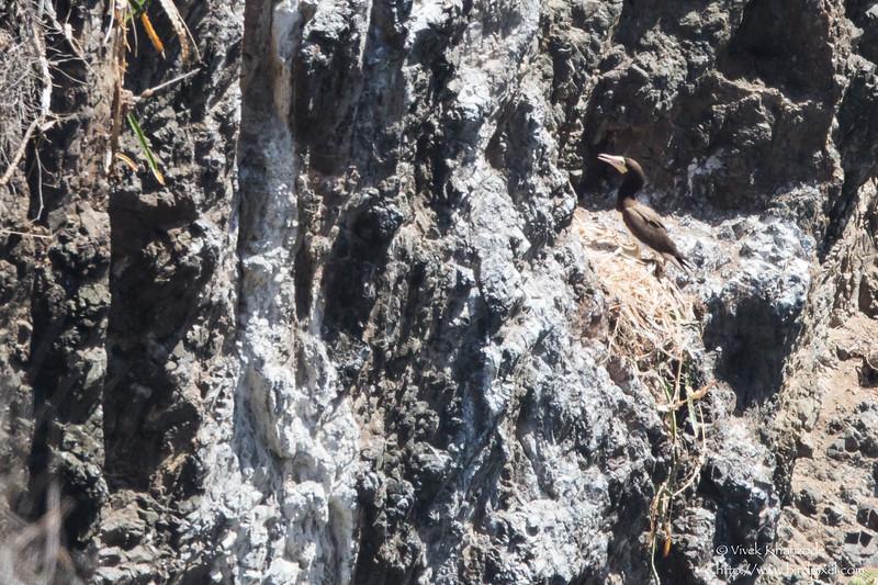 Brown Booby nesting - Record - Little Tobago Island, Tobago