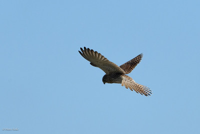 Kestrel, Common (spp. tinnunculus)