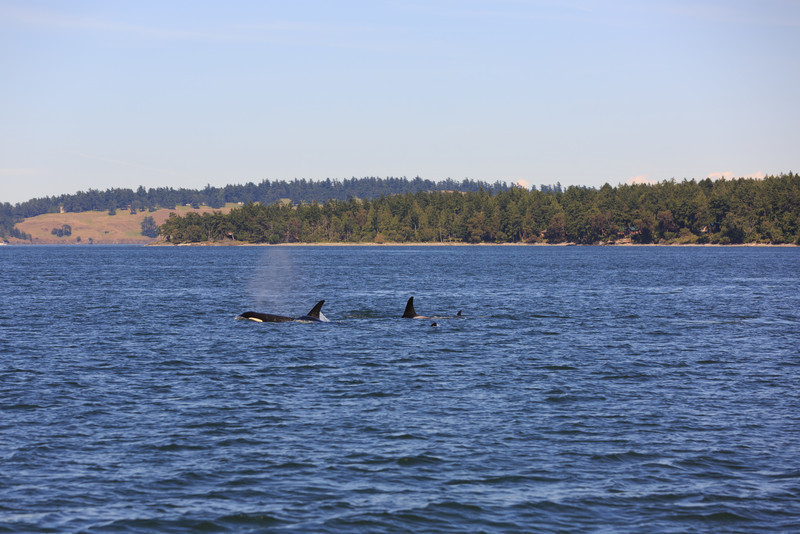 2013_06_04 Orcas Whale Watching 439.jpg