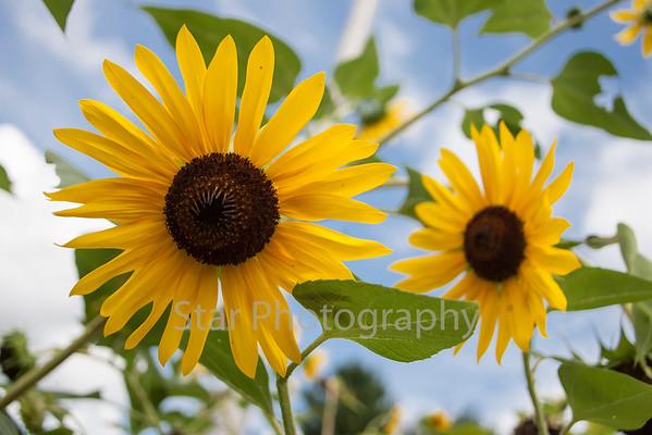 Sunflowers 09-09-14