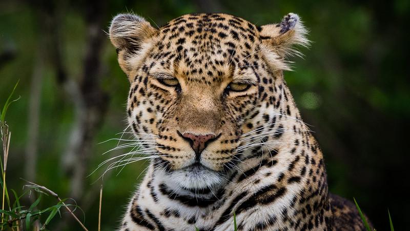 Leopards-0112.jpg
