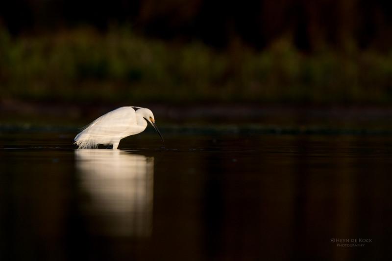 Little Egret, Lake Wollumboola, NSW, Nov 2014-1.jpg