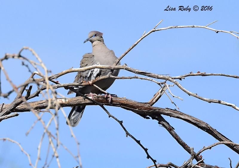White-winged Dove - 4/3/2016 - Agua Caliente County Park