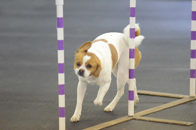 Dinky Dogs TDAA Trial - February 2-3, 2013