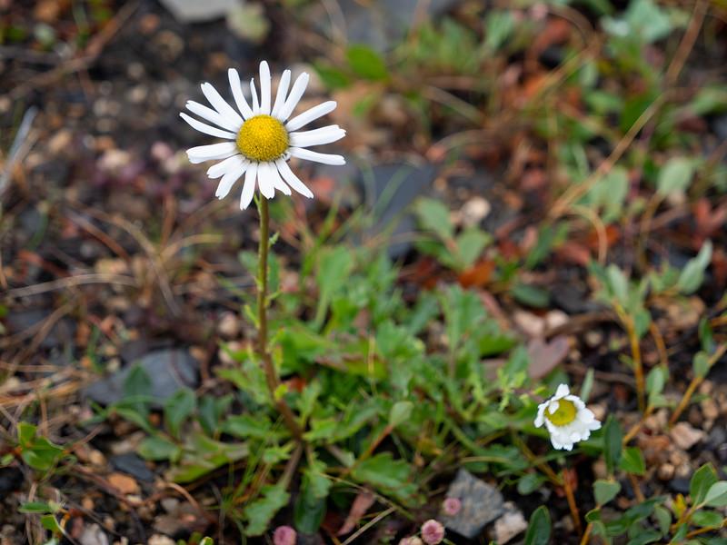Chrysanthemum arcticum