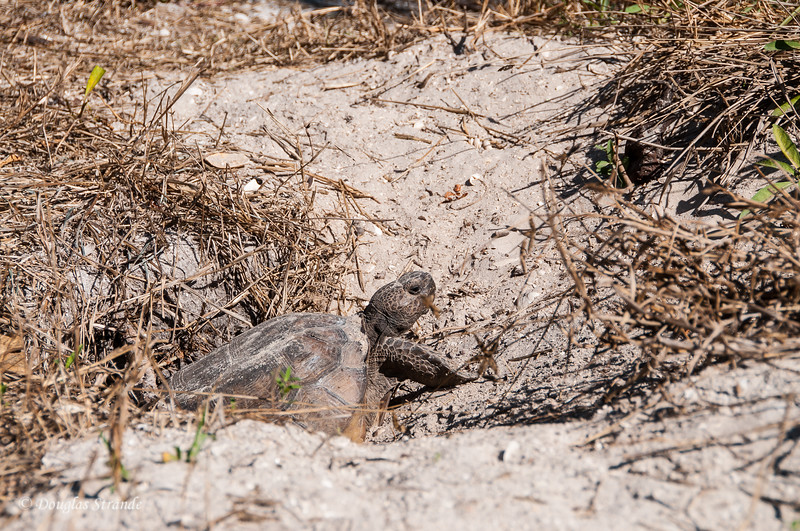 Gopher Tortoise at Lovers Key Park
