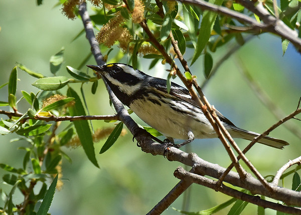 Warbler, Black-throated Gray