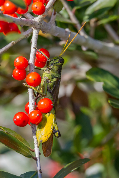 Obscure Bird Grasshopper - Schistocerca onscura