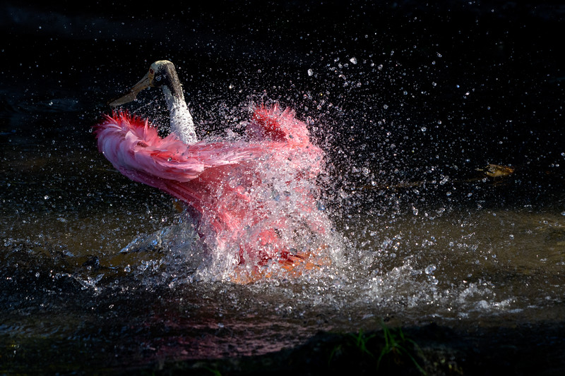 Roseate Spoonbill Bath - Dancing Feathers