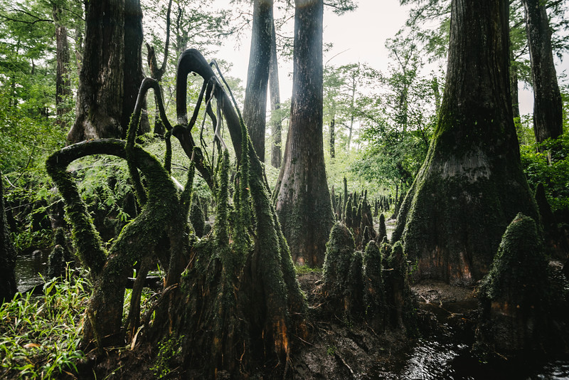 "The Three Sisters Swamp is the remnant of an ancient Baldcypress forest along the Black River, some 10 miles north of Wilmington. The only way in is by boat, and navigating through the twisted channels and man-sized cypress knees in low water is more like caving than paddling. There are ""hundreds"" of millenial-aged trees here, making it the oldest remaining cypress forest in the world. It's a truly primeval place"