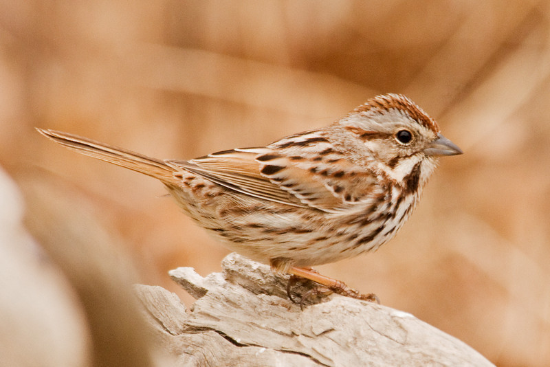 Sparrow - Song - Dunning Lake, MN - 01