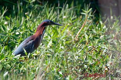 Birds of High Island and Galveston, Texas