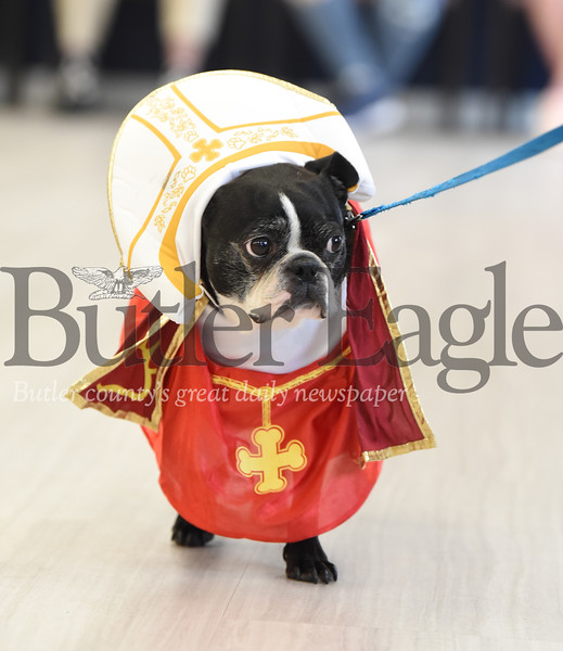 Harold Aughton/Butler Eagle: Mojo, a Boston Terrier, doned a Pope costume to win the Cutest Costume trophy during the annual Newhaven Court dog show.