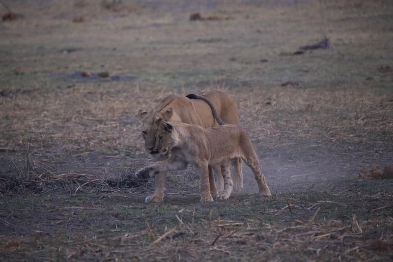 Lion mother and cubs, Selinda Explorer camp, Botswana