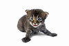 Cute kitten with beautiful blue eyes. Photography fine art photo prints print photos photograph photographs image images artwork.