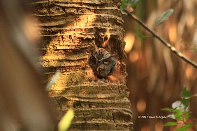 Owls @ Green Cay