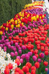 Skagit Tulip Festival