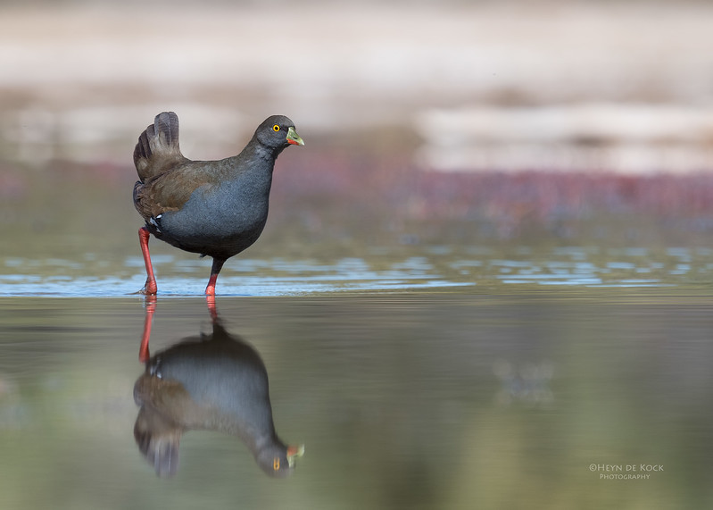 Black-tailed Nativehen, Bowra, Cunnamulla, QLD, Aus, Sept 2017-3.jpg