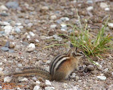 Least Chipmunk 8083.jpg