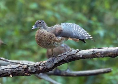 Immature Wood Ducks