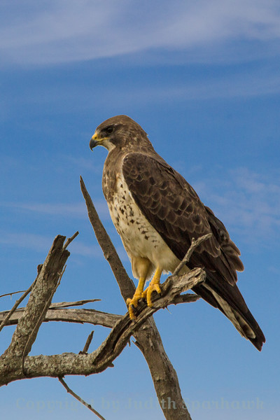 Swainson's Hawk ~ This hawk was photographed in Central Texas.