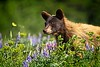 Bear Cub In Meadow Of  Wildflowers Series-  2 of 5