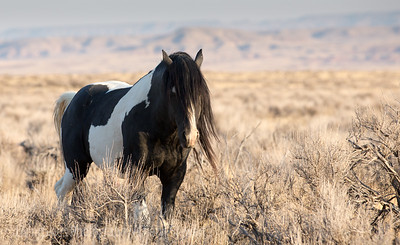 Wild Horses, Pryor Mountain Mustangs, Cody, and from TRNP
